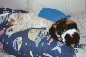 Bedfellows at home. Teddy (dog) threw his back out and is snoozing under a heating pad next to Alley (cat).